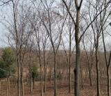 精品红榉树价格 绿化红榉树苗木出售