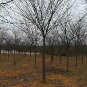 红榉树苗哪里有 红榉胸径18公分价格