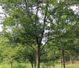 优质红榉树产地报价表 绿化苗红榉树批发