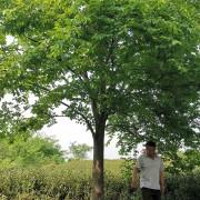 江苏红榉树基地批发 20公分红榉树多少钱一棵