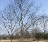 榉树求购价格 五公分的榉树苗哪里有