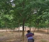 红榉树22公分多少钱 行情 江苏红榉树苗木价格表