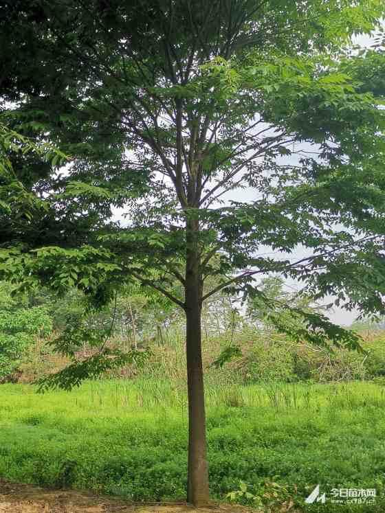 榉树苗哪里有 10-12公分榉树价格