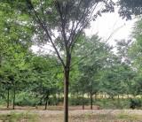 江苏红榉树批发 精品红榉树种植基地出售