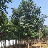 20公分楸树多少钱 江苏楸树大苗种植基地售价