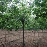 12公分青叶复叶槭价格 青叶复叶槭树苗多少钱一棵
