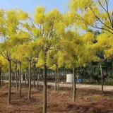 黄金槐种植基地 15公分黄金槐价格 产地直销
