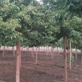 青叶复叶槭哪里有 青叶复叶槭五公分价格