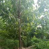 10-12公分楸树价格 楸树苗木供应