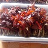 泰山红油香椿苗价格
