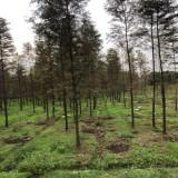 6公分水杉价格 6-8-10公分水杉苗木价格