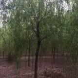 求购8公分垂柳树    垂柳树苗批发价格   垂柳树基地批发