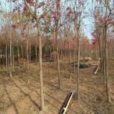 丝棉木价格 批发 丝棉木树苗供应