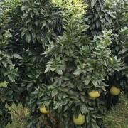 成都柚子树  柚子树价格  柚子树1到30公分基地批发