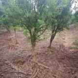 江苏批发石榴树 10公分石榴树价格