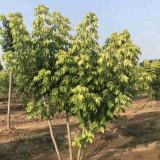 金叶复叶槭今日价格表 宿迁金叶复叶槭15公分多少钱