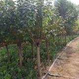 5-15公分丁香花树苗批发价格  丁香花树苗多少钱一棵