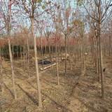 江苏沭阳丝棉木价格 8-10公分丝棉木多少钱