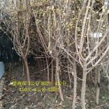 2米冠丛生腊梅报价 苗圃直销1.5米冠丛生腊梅