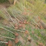 沭阳木槿苗木基地 木槿苗多少钱一棵