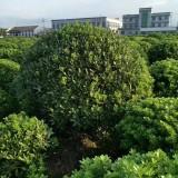 50-70公分海桐批发供应  海桐多少钱一棵  求购海桐苗