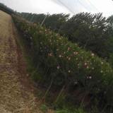 木槿树苗哪里有 4公分5公分木槿价格
