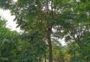 3公分落羽杉价格 基地4公分落羽杉多少钱一棵