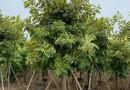 七彩竹芋哪里有卖 福建七彩竹芋种植基地批发报价