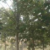 青桐树苗哪里有卖 12公分青桐树苗多少钱一颗