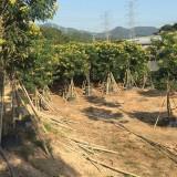 4米高黄花槐袋苗批发供应    黄花槐袋苗多少钱一棵