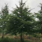 18公分娜塔栎哪里有 娜塔栎树苗多少钱一棵