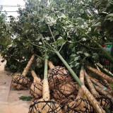 江苏8公分青桐树苗价格 产地批发青桐树苗价格表