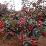 花椒苗出售 花椒苗价格 1米大红袍花椒苗