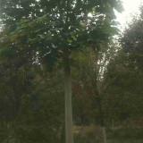 青桐树市场销售价格 青桐树种植基地