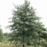 江苏哪里买娜塔栎树苗 20-25公分娜塔栎价格行情