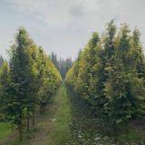 黄金杉树市场价 江苏黄金水杉树批发价格表