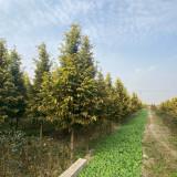 黄金水杉树苗种植基地3米高黄金杉树苗多少钱一棵