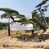 江苏造型松树苗基地直供 造型松树多少钱一棵
