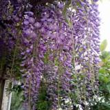 紫藤树的价格 批发 紫藤苗供应