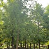 米径5公分池杉价格 江苏东台池杉价格 行情