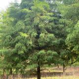 10到12公分池杉树哪里有 基地10-12公分池杉价格
