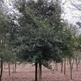 15公分弗吉尼亚栎多少钱一棵 弗吉尼亚栎价格表