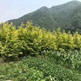 金叶水杉工程苗价格 5-8-10公分金叶水杉树批发
