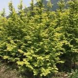 3公分金叶水杉 5公分金叶水杉 8公分金叶水杉价格