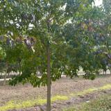 20公分重阳木价格 江苏15公分重阳木多少钱一棵