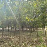 18公分的重阳木哪里有 重阳木现货批发价格表