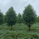 中山杉树苗圃直销 9公分中山杉价格行情