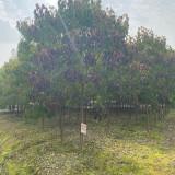 重阳木产地批发价格 江苏25公分重阳木市场什么价