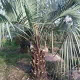 布迪椰子苗多少钱一棵 1米-3米布迪椰子树苗价格表