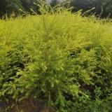 1米高黄金香柳袋苗多少钱  求购黄金香柳袋苗